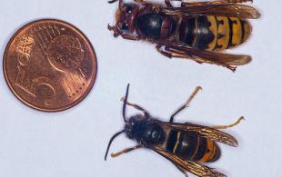 Ázsiai méh